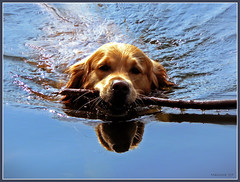 Retriever (maistora) Tags: family blue england sky dog pet lake reflection water animal swim goldenretriever golden friend britain retriever explore winner maxwell duel stick hunter alpha berkshire fetch soe hunt loyal devoted wonderworld supershot lumixfz7 youmakemehappy fineartphotos 1mill abigfave maistora worldbest shieldofexcellence anawesomeshot superbmasterpiece ysplix searchandreward theunforgetablepictures onlythebestare leicavarioelmarit36432mm exploreed05may07 iamflickr yahoo:yourpictures=water