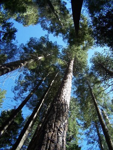 20070505 Big Trees