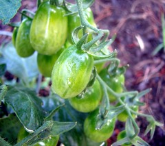 bunch of new tomatoes, with waterdrops, about 2 inches - by Martin LaBar