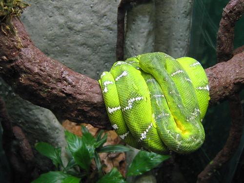 Somnolent Snake