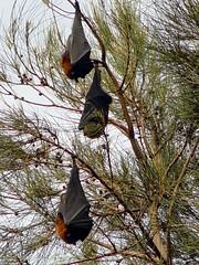 fruit bats
