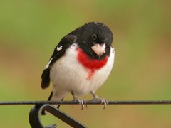Rose-breasted Grossbeak