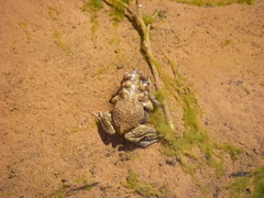 Grand Canyon - Tapeats Creek - toads (Al_HikesAZ) Tags: park camping camp arizona fauna creek river landscape ilovenature pond colorado mud hiking grandcanyon amphibian toads grand canyon hike frog national backpacking toad backpack frogs hikes bufo inthecanyon grandcanyonnationalpark coloradoplateau bufonidae redspotted redspottedtoad punctatus gcnp awesomenature thunderriver bufopunctatus tapeats Taxonomy:Family=bufonidae alhikesaz Taxonomy:binomial=bufopunctatus belowtherim