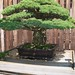Bonsai Tree at National Arboretum