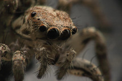 Eyes of the hunter (macropoulos) Tags: macro spider jumping eyes bravo 500v20f animalia arthropoda gettyimages arachnida reverselens araneae salticid topf500 salticidae top20spidersandwebs chelicerata cotcmostinteresting magicdonkey 1500v60f 1000v40f canonef100mmf28macrousm outstandingshots flickrsbest 3000v120f specanimal animalkingdomelite 6000v240f canoneos400d specinsect 100faves100comments1000views macrophotosnolimits empyreananimals reversedcanonef35mmf2 58mmto52mmreverselenscoupler awesomebug excapturemacro theflickrcollection macrosamazeme gettyimages:date_added=pre20110607