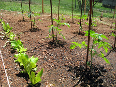 lettuce_tomatoes