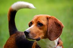 Hello! (loki0074) Tags: dog beagle d50 101 ilovemydog 5for2 favoritesonly pet100