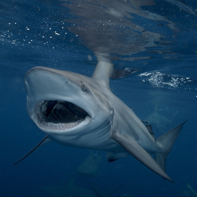 Black Tip Shark with Mouth Open