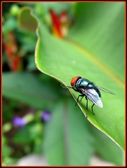 The Blow Fly on heliconia leaf is a frequent visitor to our garden. Shot April 23, 2007