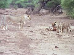 2002 ZA-Botsw 1-033 (Code Redsniper) Tags: africa elephant game drive kill jeep wildlife south lion safari leopard prey botswana predator kruger mashatu