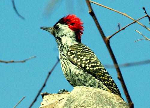 Golden-tailed Woodpecker by Peet van Schalkwyk.