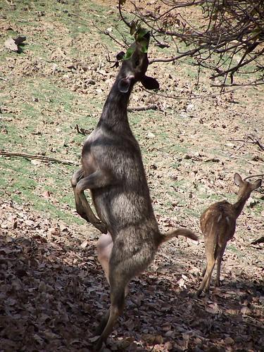 Ciervos en el parque de Ranthambore, en la India