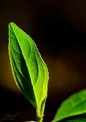 Glowy Leaf