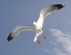 gabbiano_4 (mivigur) Tags: sea mare seagull gull sony volo gaviota dscp200 gabbiano seabird avianexcellence mivigur