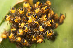 "A mass of tiny Spiderlings • <a style=""font-size:0.8em;"" href=""http://www.flickr.com/photos/57024565@N00/526647644/"" target=""_blank"">View on Flickr</a>"