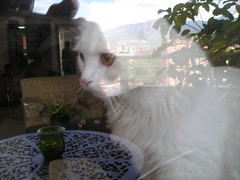 (picardona) Tags: white cat gato otto felino angora
