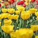 Darwin Hybrid Tulip 'Jewel of Spring' (Tulipa)