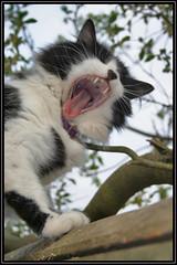 Roar (Chris Stickley) Tags: tom cat teeth pussy lion bite growl roar munch