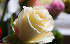 White Rose for the last days of Passover (Ari Hahn) Tags: tilt diamondclassphotographer flickrdiamond
