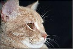 Smug (Elkay 724) Tags: pet cats pets face cat nose eyes feline tabby profile kitty whiskers gato kitties buff creamsicle impressedbeauty
