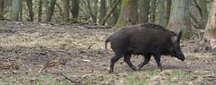 Wildzwijn met jonkies (kath & theo) Tags: big wildzwijn veluwe apeldoorn varken warthog zwijn biggetjes aardhuis natuurparkaardhuis