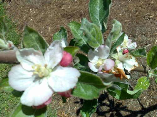 Apple Blossoms at the Mordecai House