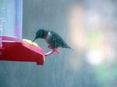 Hummingbird 20070421 115wp (lucycat) Tags: birds tennessee hummingbirds dirtywindow rubythroatedhummingbird birdfeeders archilochuscolubris