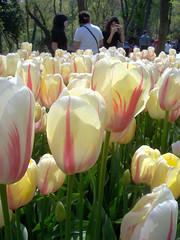 Laleler - stanbul Emirgan Korusu (@till@) Tags: turkey tulips trkiye turquie tulip turquia turchia turkei lale