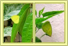 3-spot Grass Yellow Butterfly (Eurema blanda snelleni)