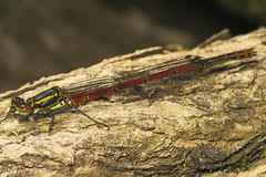 "Large Red Damselfly (Pyrrhosoma nymph(9) • <a style=""font-size:0.8em;"" href=""http://www.flickr.com/photos/57024565@N00/476933208/"" target=""_blank"">View on Flickr</a>"