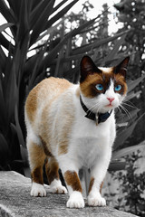 Feline (Jsome1) Tags: blue eye cat interesting eyes nikon feline siamese explore just someone lucha guimares feliciano d40 golddragon kissablekat bestofcats impressedbeauty jsome1 happinessconservancy