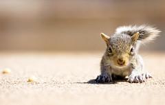 peanut (mosippy) Tags: squirrel bravo urbannature frontyard greysquirrel babysquirrel naturesfinest instantfave explored specnature canonef70200mmf4lusm minnesotawildlife anawesomeshot impressedbeauty