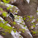 Downy Woodpecker06