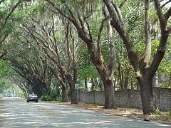 Live Oak lined street