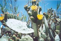 Cactus_Flower_Milli