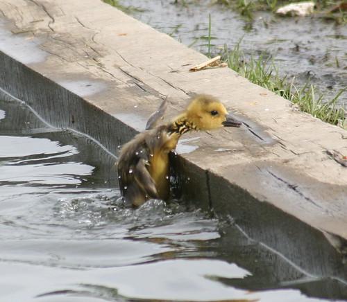 gosling needs help