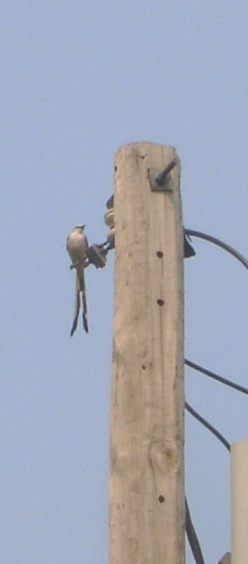 saw a scissor-tail flycatcher today. Haven't seen one for a long ...