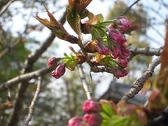 さくら桜 つぼみ蕾は愛らしい
