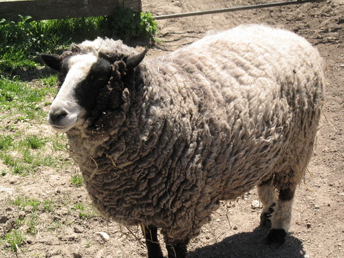 This Sheep Is Ready For Its Closeup (1)