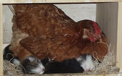 Chicken on kittens at Farm Haven (microwizard) Tags: chicken corn mother kittens maze hayride hatches