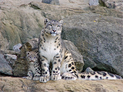 Djamila and her cub posing (Tambako the Jaguar) Tags: wild baby cute cat zoo cub schweiz switzerland big feline sitting looking zurich mother kitty posing fluffy together bigcat zrich wildcat staring snowleopard felid djamila panthera schneeleopard parkstock snowkitty uncia zoozrich specanimal mywinners anawesomeshot aplusphoto loparddesneiges panthredesneiges faceoffwinner photofaceoffwinner pfogold dshamilja vosplusbellesphotos