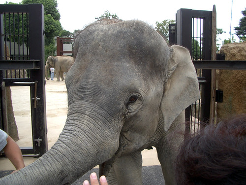 little elephant at ueno zoo, tokyo