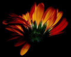 A light in the dark (Kirsten M Lentoft) Tags: orange flower topf25 topc25 closeup gerbera daisy empyrean naturesfinest blueribbonwinner supershot outstandingshots specnature 250v10f abigfave colorphotoaward momse2600 top20orange kirstenmlentoft
