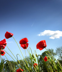 Red.Petals - nature landscape flower poppy flowers spring red sky green france clouds rights