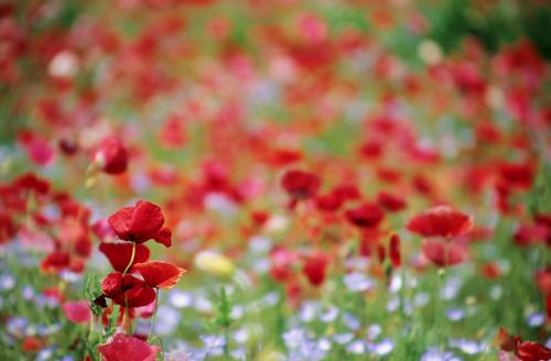 poppy_garden_2
