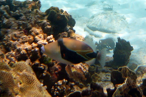 Wedge-tail Triggerfish on Similan Islands