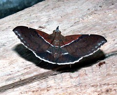 Sympis rufibasis (Mangiwau) Tags: macro insect indonesia moth insects creepy lepidoptera moths noctuidae catocalinae papua insectes insecta motte serangga crawlies jayapura irian senggi tekai nouvelleguinee sympis rufibasis