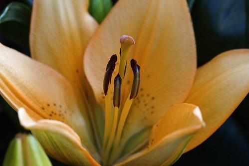 citrine lily