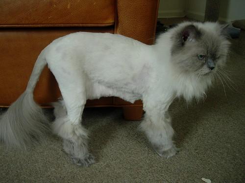 Shaved himalayan cat