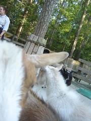 BAAA (le esperare) Tags: sheep goats baa